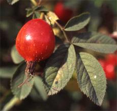 Fruit_rosier