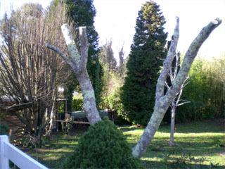 Albizia_taille_mars_2008