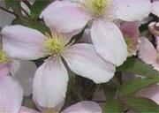 Clematis_montana_fleur