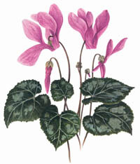 Cyclamen_aquarelle
