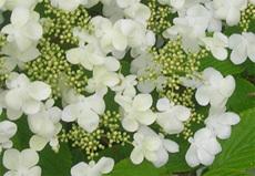 Fleur_viburnum