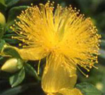 Hypericum_flower