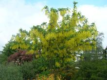 Laburnum_anagyroides_arbre_1