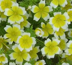Limnanthes_fleur