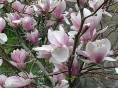 Magnolia_xsoulangeana