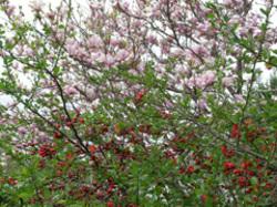 Magnolia_xsoulangeana_chaenomeles_xsuper