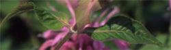 Monarda_leaves