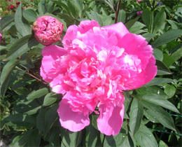 Paeonia_red