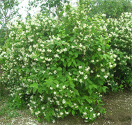 Philadelphus_shrub