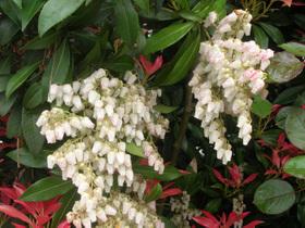 Pieris_japonica_fleurs