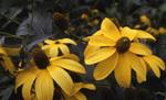 Rudbeckia_nitida_autumn_glory