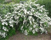 Spiraea_vanhouttei_shrub1_1