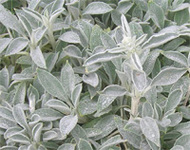 Stachys_detail_1