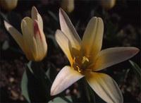 Tulipa_kaufmanianna_the_first