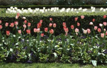 Tulipes_bagatelle_modifi1