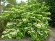 Viburnum_plicatum_shrub
